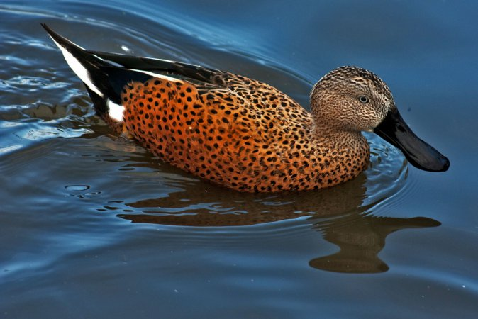 Photo (3): Red Shoveler