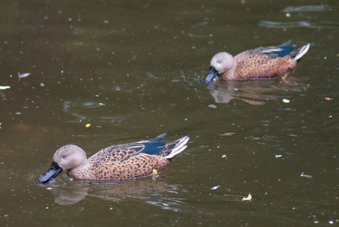 Photo (4): Red Shoveler