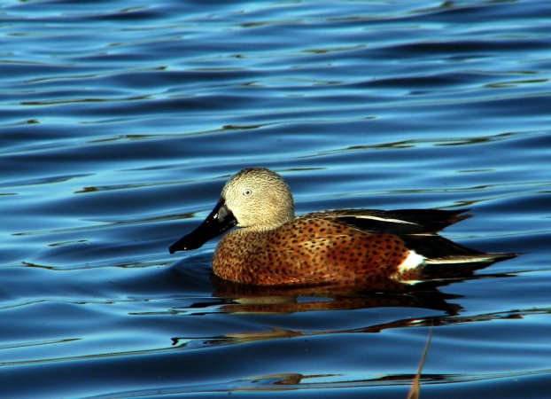 Photo (2): Red Shoveler
