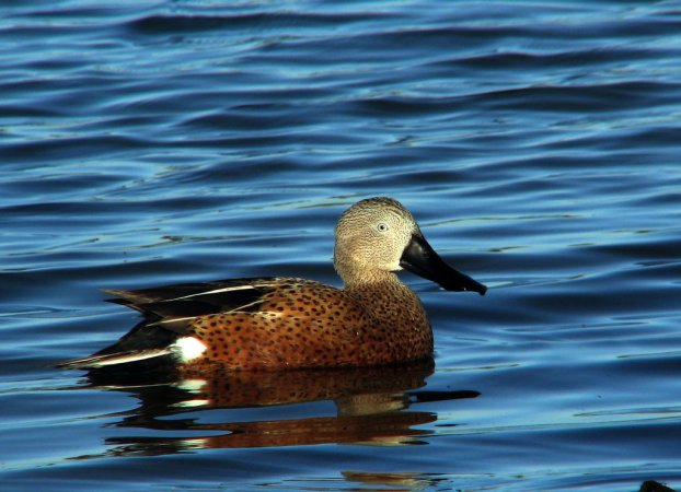 Photo (1): Red Shoveler