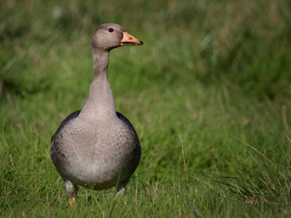 Photo (17): Greater White-fronted Goose