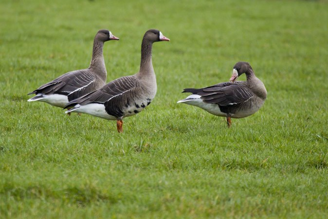 Photo (2): Greater White-fronted Goose