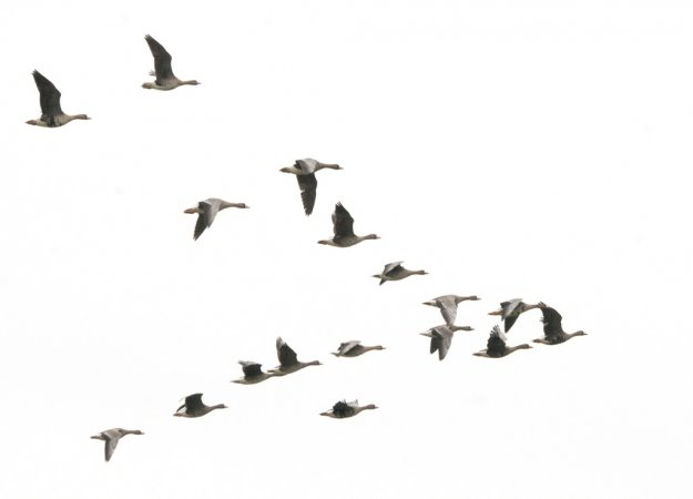 Photo (12): Greater White-fronted Goose