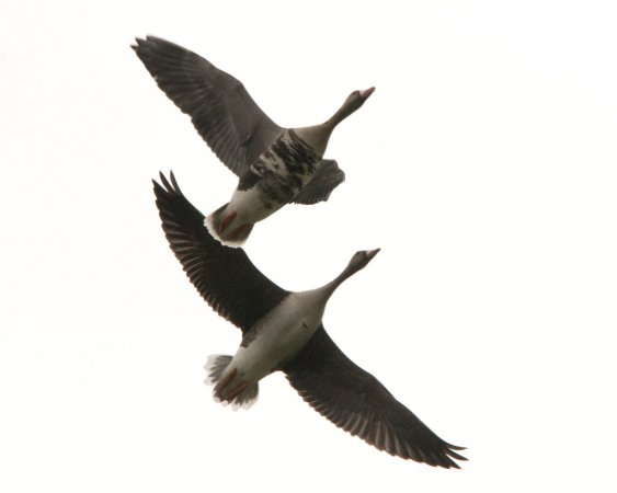 Photo (5): Greater White-fronted Goose