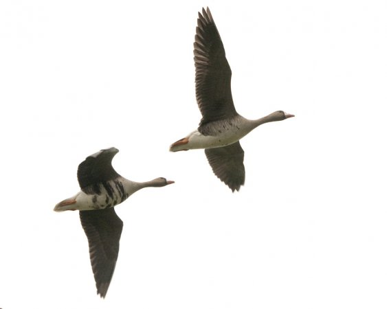 Photo (9): Greater White-fronted Goose