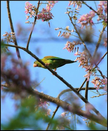 Photo (8): Orange-chinned Parakeet