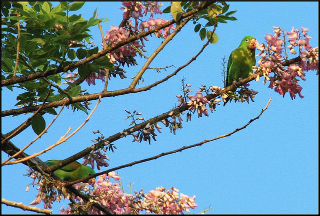 Photo (6): Orange-chinned Parakeet