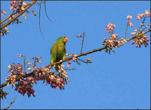 Photo (5): Orange-chinned Parakeet