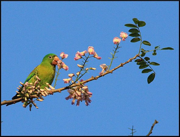 Photo (4): Orange-chinned Parakeet