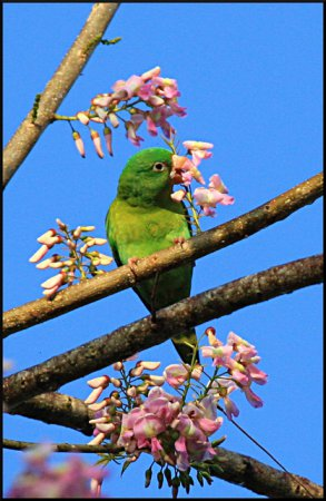 Photo (7): Orange-chinned Parakeet