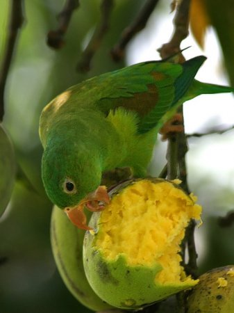 Photo (3): Orange-chinned Parakeet