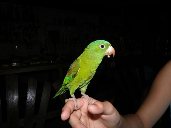 Photo (10): Orange-chinned Parakeet