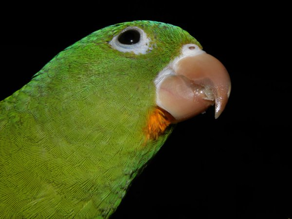 Photo (2): Orange-chinned Parakeet