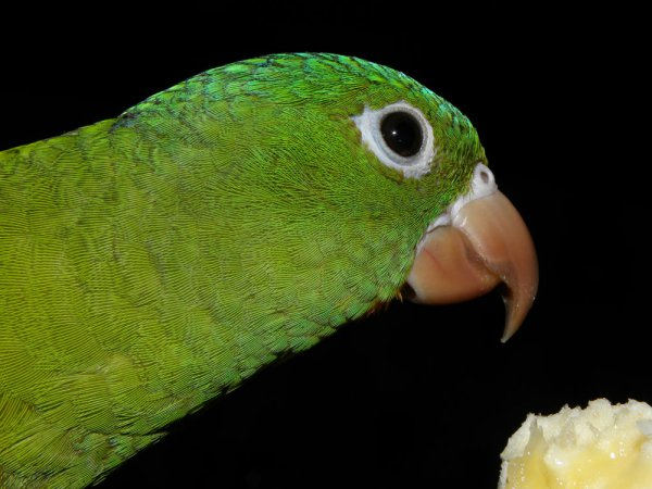 Photo (11): Orange-chinned Parakeet
