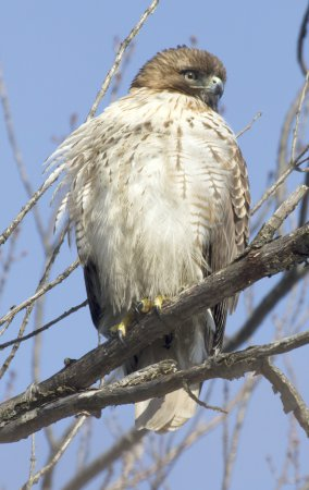Photo (16): Red-tailed Hawk