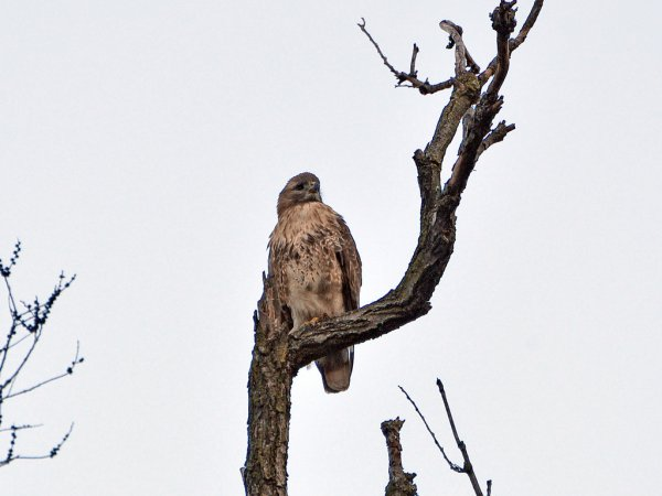 Photo (20): Red-tailed Hawk