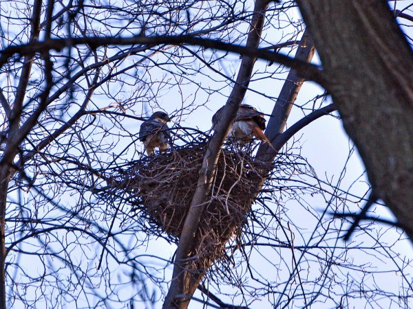 Photo (21): Red-tailed Hawk