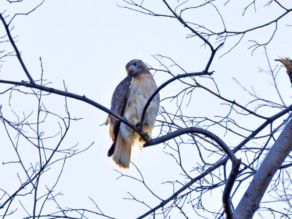 Photo (18): Red-tailed Hawk