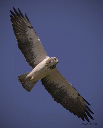 Photo (16): Swainson's Hawk