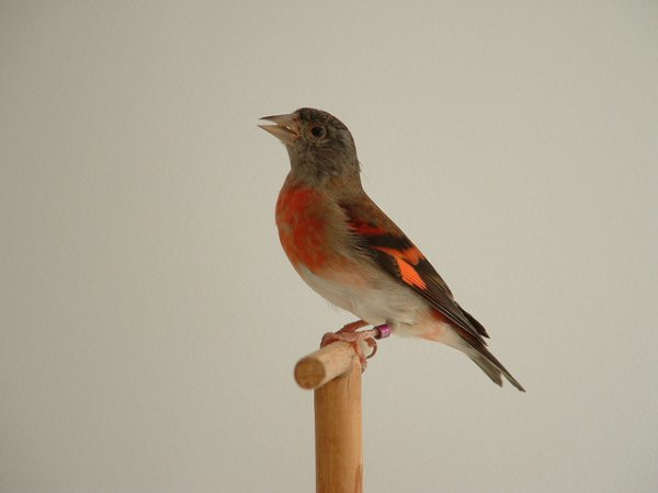 Photo (1): Red Siskin