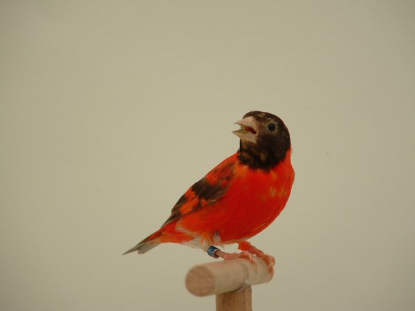 Photo (2): Red Siskin