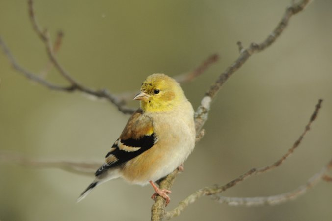 Photo (11): American Goldfinch