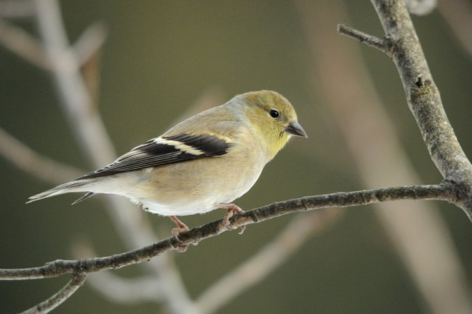 Photo (13): American Goldfinch