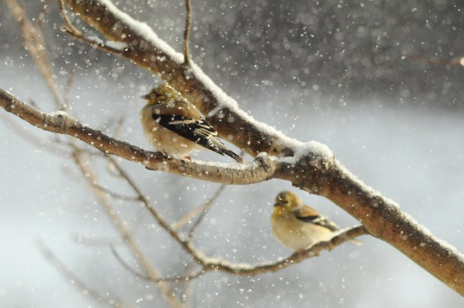 Photo (15): American Goldfinch