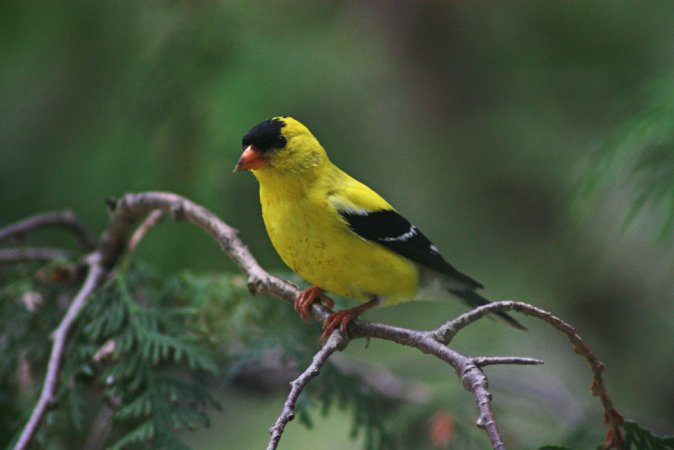 Photo (4): American Goldfinch