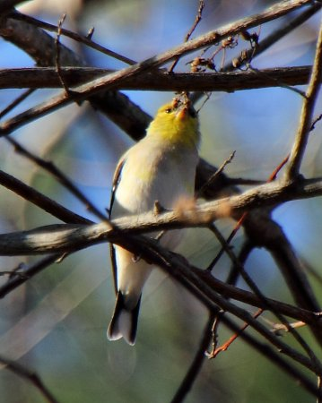 Photo (17): American Goldfinch