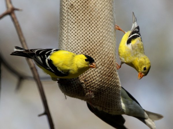 Photo (6): American Goldfinch