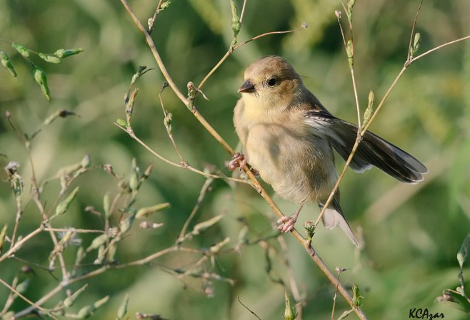 Photo (16): American Goldfinch