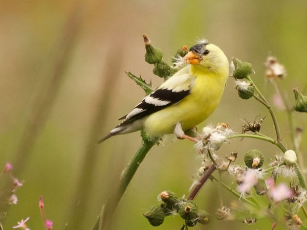Photo (3): American Goldfinch