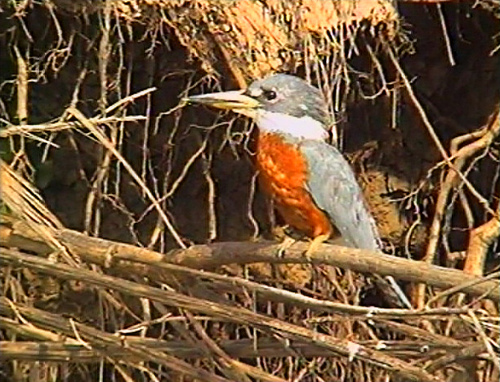 Photo (8): Ringed Kingfisher