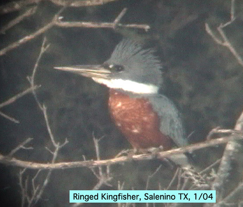 Photo (13): Ringed Kingfisher