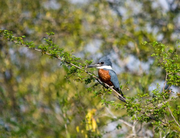 Photo (21): Ringed Kingfisher