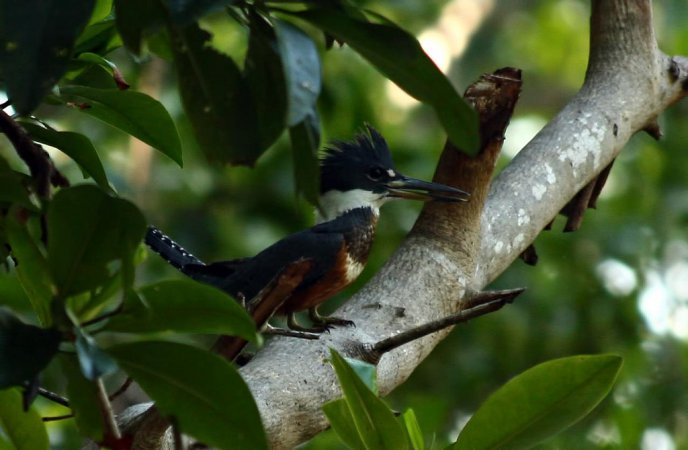 Photo (19): Ringed Kingfisher