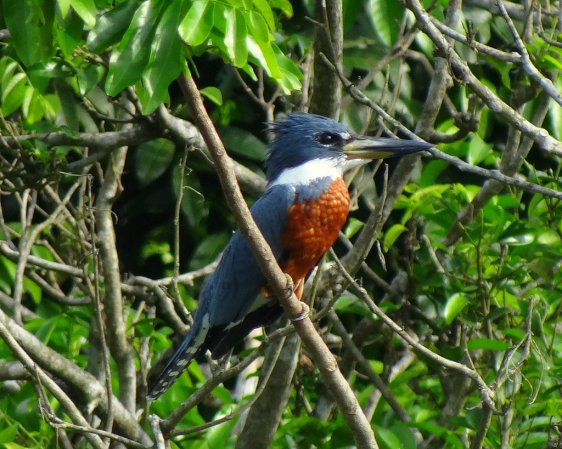 Photo (14): Ringed Kingfisher