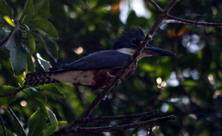 Photo (17): Ringed Kingfisher