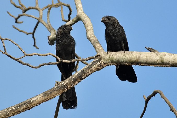 Photo (4): Smooth-billed Ani