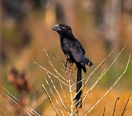 Photo (14): Smooth-billed Ani