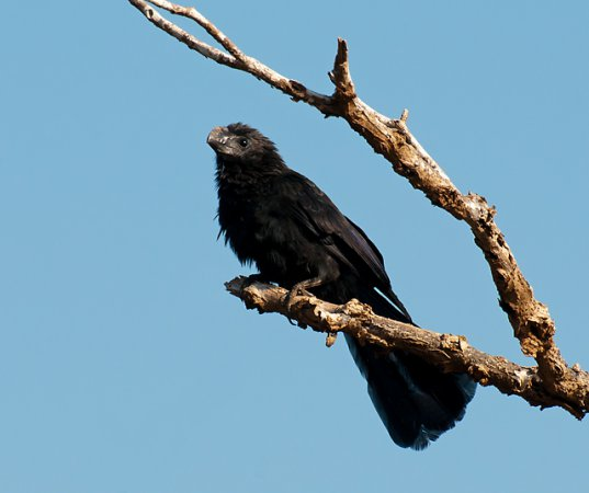 Photo (10): Smooth-billed Ani