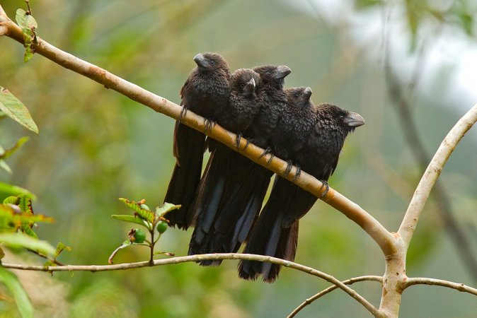 Photo (1): Smooth-billed Ani