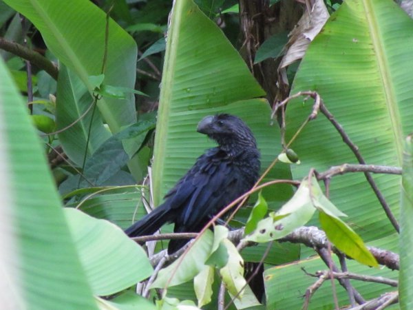 Photo (18): Smooth-billed Ani