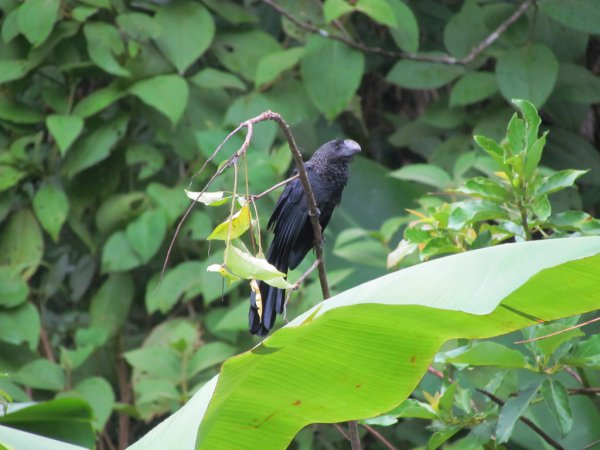 Photo (12): Smooth-billed Ani