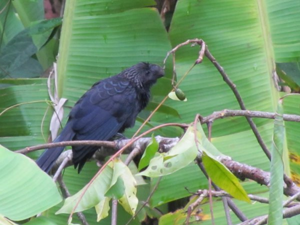 Photo (16): Smooth-billed Ani