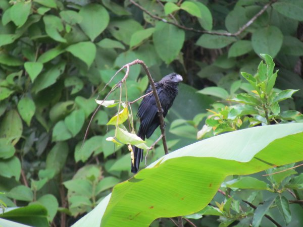 Photo (15): Smooth-billed Ani