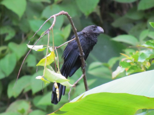 Photo (13): Smooth-billed Ani