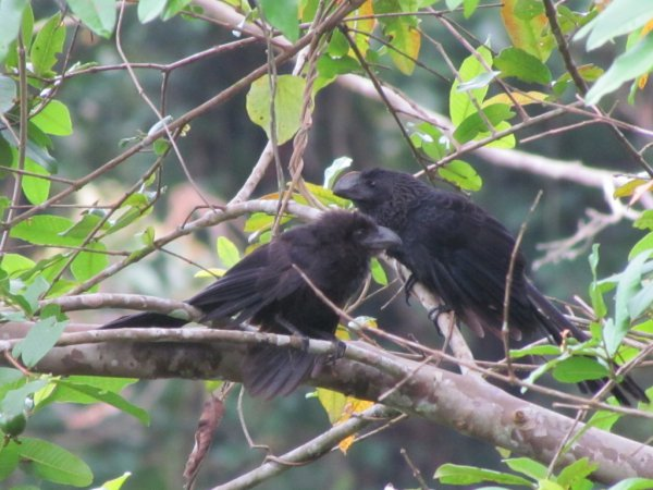 Photo (17): Smooth-billed Ani