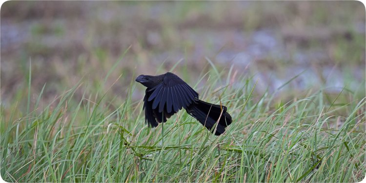 Photo (11): Smooth-billed Ani